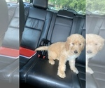 Small #25 Goldendoodle-Poodle (Standard) Mix