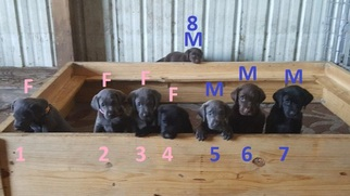 Labrador Retriever Puppy For Sale in DANBURY, TX, USA
