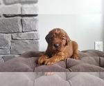 AKC Irish Setter puppy