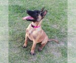 Small #5 Belgian Malinois