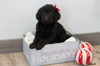 Double Doodle Puppy For Sale in FREDERICKTOWN, MO, USA