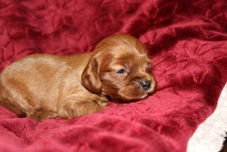 Cavalier King Charles Spaniel Puppy For Sale in BIG COVE, AL, USA