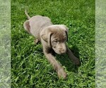 Labrador Retriever Puppy For Sale in DUNDEE, OH, USA