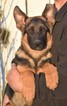 German Shepherd Dog Puppy For Sale in BOSTON, VA,