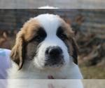 Puppy 2 Great Pyrenees-Saint Bernard Mix