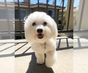 Bichon Frise Puppy for sale in ALISO VIEJO, CA, USA