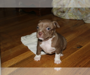 American Bully Puppy for sale in IUKA, MS, USA