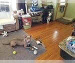Small #376 American Staffordshire Terrier Mix