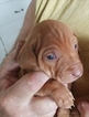 Vizsla Puppy For Sale in HALE CENTER, TX, USA