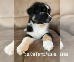 Australian Shepherd Puppy for Sale in MC ALPIN, Florida USA