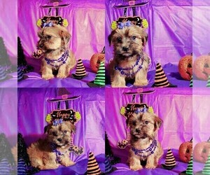 Maltese-Morkie Mix Puppy for sale in CALUMET CITY, IL, USA
