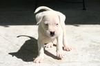 Dogo Argentino Puppy For Sale in MIAMI, Florida,