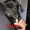 Pug Puppy For Sale in LEXINGTON PARK, MD, USA