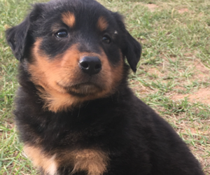 English Shepherd Puppy for Sale in GREENVILLE, Alabama USA