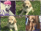 Poodle (Standard) Puppy For Sale in HAINES CITY, FL,