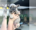 Small #3 French Bulldog