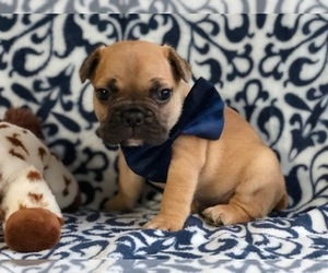 French Bulldog Dog for Adoption in CLAY, Pennsylvania USA