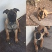 Belgian Malinois Puppy For Sale in EL PASO, TX, USA