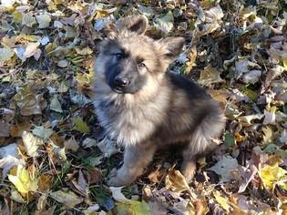 German Shepherd Dog Puppy for sale in GRASSTON, MN, USA
