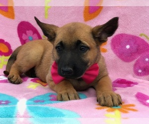 Belgian Malinois Puppy for sale in MYERSTOWN, PA, USA