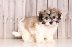Havashu Puppy For Sale in MOUNT VERNON, OH, USA