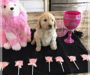 Goldendoodle Puppy for Sale in BURLESON, Texas USA