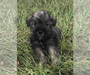 Schnauzer (Miniature) Puppy for sale in BELDEN, MS, USA