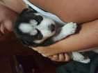 Siberian Husky Puppy For Sale in DALZELL, IL,