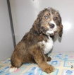 Bernese Mountain Dog-Bernese Mountain Poo Mix Puppy For Sale in MIDDLEBURY, IN, USA