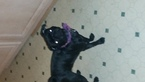 Pug Puppy For Sale in OLYPHANT, PA,
