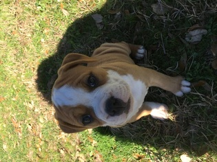 Olde English Bulldogge Puppy For Sale in CANYON LAKE, TX, USA