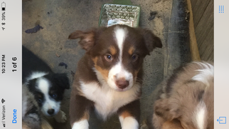 Miniature American Shepherd Puppy For Sale in TRINIDAD, CA