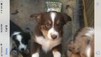 Mini American australian Shepherd puppys