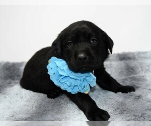 Labrador Retriever Puppy For Sale in WARDENSVILLE, WV, USA