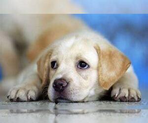 Labrador Retriever Puppy for sale in LIMA, OH, USA