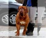 Puppy 2 Dogue de Bordeaux