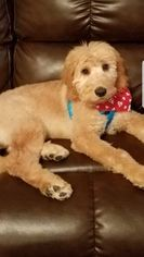 Goldendoodle Puppy For Sale in TRENTON, NJ, USA