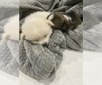 Small #1 Cardigan Welsh Corgi-Pomeranian Mix