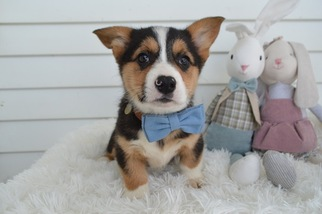 Pembroke Welsh Corgi Puppies For Sale Near Haddonfield New Jersey