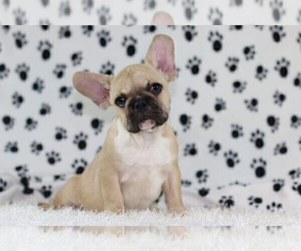 Medium Photo #3 French Bulldog Puppy For Sale in GRAPEVINE, TX, USA