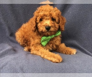 Poodle (Miniature) Puppy for sale in LAKELAND, FL, USA