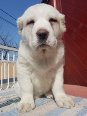 Central Asian Shepherd Dog Puppy For Sale in DALLAS, TX