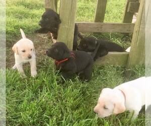 Labrador Retriever Puppy for sale in GROESBECK, TX, USA