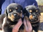 Rottweiler Puppy For Sale in OSCEOLA, AR, USA