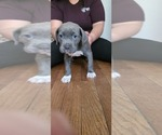 Puppy 9 American Bandogge