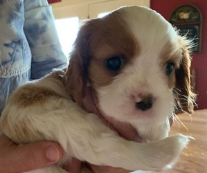 Cavalier King Charles Spaniel Puppy for sale in BRIGHTON, IL, USA