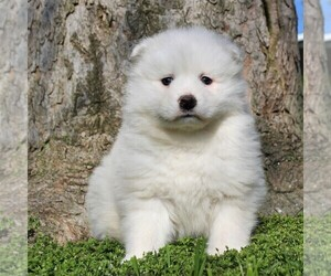 Samoyed Puppy for sale in MYERSTOWN, PA, USA