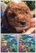Goldendoodle Puppy For Sale in RIMERSBURG, PA,