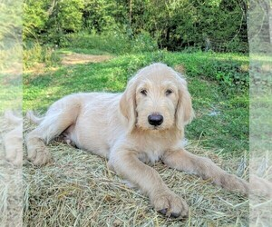Labradoodle-Poodle (Standard) Mix Puppy for sale in LINDEN, TN, USA