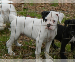 Boxer Dog for Adoption in BEECH ISLAND, South Carolina USA